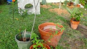 Rambutan, Tomato, and Butterfly bush